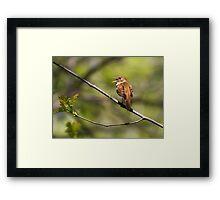 Nightingale  Framed Print