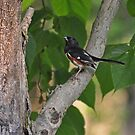 Oriole Visit by budrfli
