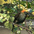 The 'akohekohe, the amazing crested honeycreeper  by Ken Gilliland