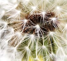 Dandelion 2 by Falko Follert