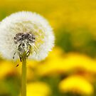 Dandelion 5 by Falko Follert