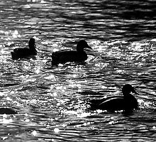 Ducks silhouettes on river, monochrome by Magdalena Warmuz-Dent