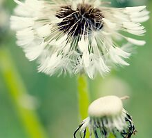 Dandelion 9 by Falko Follert