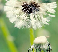 Dandelion 9 by Falko Follert
