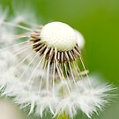 Dandelion 11 by Falko Follert