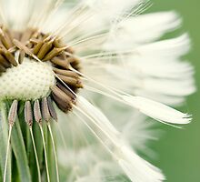 Dandelion 12 by Falko Follert