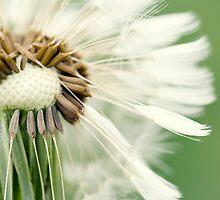 Dandelion 12 by Falko Follert