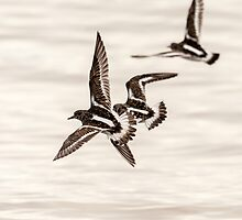 Turnstone (Arenaria interpres) by mattcattell