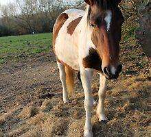 Brown and white horse by Maralin Cottenham