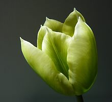 """""""Single Cup""""  The Flower of a Tulip by Anita  Fletcher"""