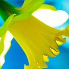 Daffodil Blues by Jeff Johannsen
