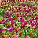 Tulips colourful by Aase