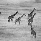 Which Way- Masai Mara Kenya by Pascal Lee (LIPF)