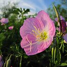 Texas Wildflower - Primrose by aprilann