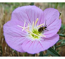 Home Sweet Home - Spotted Cucumber Beetle in Pink Primrose Photographic Print