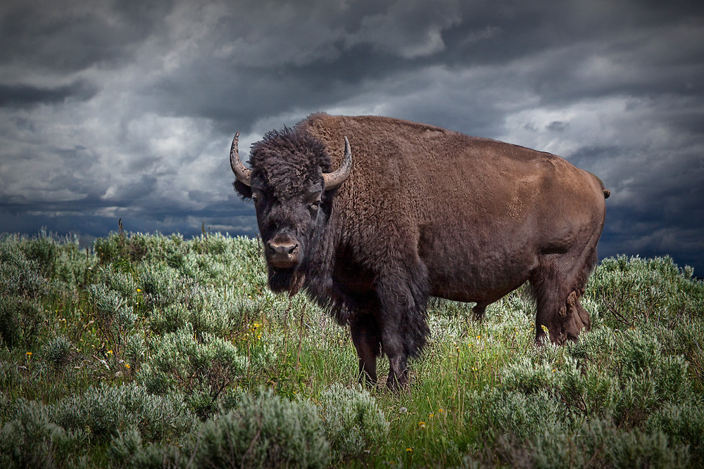 American Buffalo or Bison in Yellowstone by Randall Nyhof