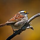 White Throated Sparrow by Michael Cummings