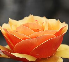 Butter Orange Rose by Michael Taggart