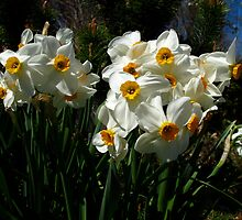 Dreamy Narcissus by MarianBendeth