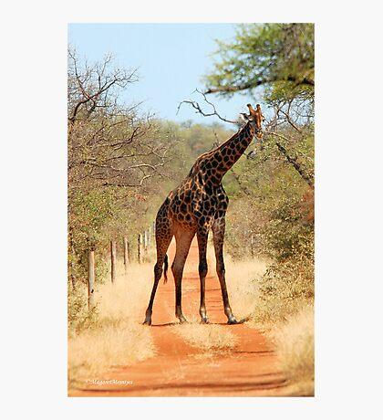 SORRY..., TAKE ANOTHER ROAD! - THE GIRAFFE – Giraffa Camelopardalis (KAMEELPERD) Photographic Print