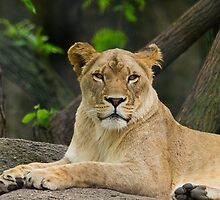 Mama Lion by Anthony Roma