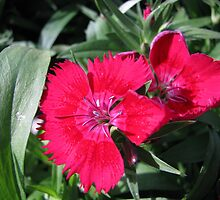 Red Dianthus by Ron Russell
