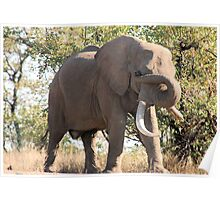 OUCH! GOT SOMETHING IN MY EYE - THE AFRICAN ELEPHANT – Loxodonta Africana Poster