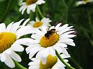Oxeye Hoverfly by Ron Russell