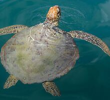 Green Turtle - Monkey Mia - WA by Frank Moroni