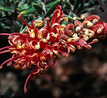 Orange red Grevillia our garden Eltham 1982 10020003  by Fred Mitchell
