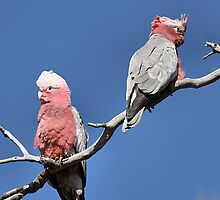 Australian Galahs at Yourambulla by Carole-Anne