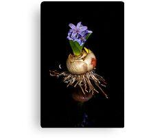 Hyacinth Canvas Print
