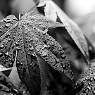 Overcast Acer by Stephen J  Dowdell