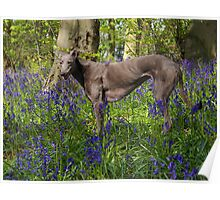 Bluebell in the Bluebell woods Poster