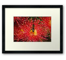A Bee on a flowering Red Gum Framed Print