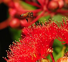 Bee in Flight over a Red Flowering Gum by Heather Samsa