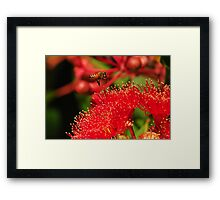 Bee in Flight over a Red Flowering Gum Framed Print