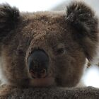Koala Face by Heather Samsa