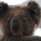 Koala Face by Heather Samsa