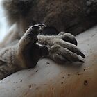 Koala Paw - Cape Otway, Victoria by Heather Samsa