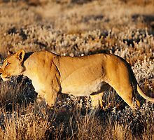 Lioness in profile by muzy