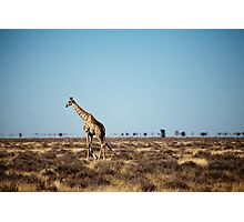 Giraffe escapes the photographers! Photographic Print