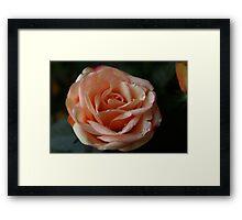 Salmon-Colored Rose Framed Print