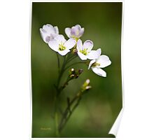 White Cuckoo Flowers Poster