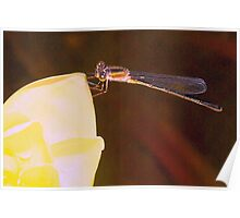 Damselfly on water lily Poster