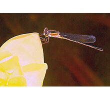 Damselfly on water lily Photographic Print