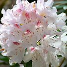 A Rhododendron for a Beautiful Mother... by Carol Clifford