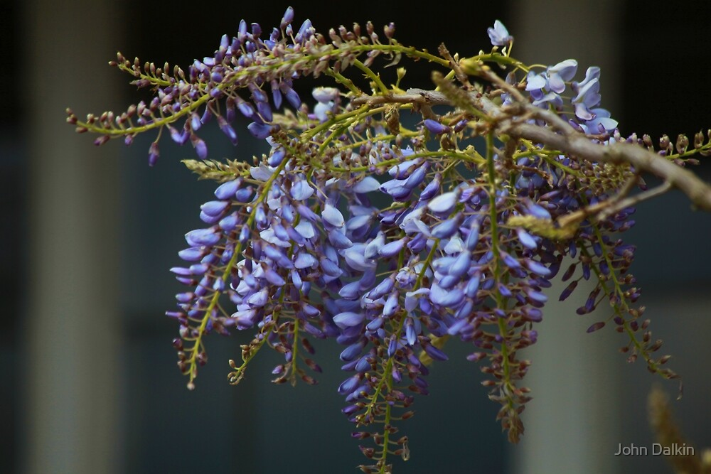 Wisteria at Winterbourne by John Dalkin