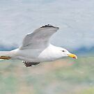 Lesser Black-backed Gull by M.S. Photography/Art
