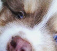 Australian Shepherd Puppy Blue Eyes Sticker